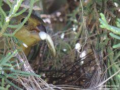 Bigodinho fêmea (Sporophila lineola), no ninho, fotografadna em São José do Rio Pardo, SP, em Dezembro/14. #Bigodinho #Sporophilalineola #LinedSeedeater