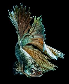 Discover The Sublime Beauty In The Dance Of Siamese Fighting Fish (Photo Gallery) Colorful Fish, Tropical Fish, Beautiful Fish, Animals Beautiful, Poisson Combatant, Carpe Koi, Different Fish, Fish Wallpaper, Freshwater Aquarium Fish