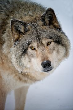 beautiful-wildlife: Timber WolfbyWolvesOnly Mais
