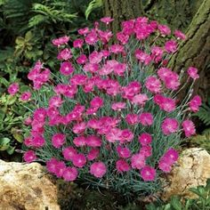 214 best garden perennials images on pinterest outdoor plants flowers contrast beautifully with the silvery blue of the evergreen foliage this low growing dianthus variety is ideal for mightylinksfo