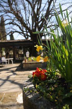 Mini jonquille au Mas d'entremont Sidewalk, Mini, Plants, Daffodil, Plunge Pool, Park, Flowers, Sidewalks, Plant