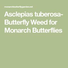 Asclepias tuberosa- Butterfly Weed for Monarch Butterflies