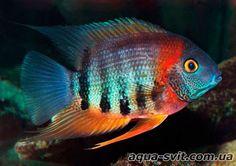 Aquarium Filters And Aquarium Supplies Tropical Freshwater Fish, Freshwater Aquarium Fish, Saltwater Aquarium, Tropical Fish, Saltwater Tank, Cichlid Aquarium, Cichlid Fish, Underwater Creatures, Ocean Creatures