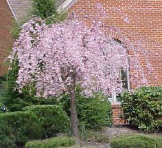 I definitely want a few of these...Growing Tips For The Dwarf Weeping Cherry Tree You should plant the dwarf weeping cherry in a large hole and provide plenty of space for the roots to distribute. The root ball should be in level with the ground, but by filling your hole with peat moss and allowing for root penetration, you are giving your tree a head start in being a healthy specimen. ...
