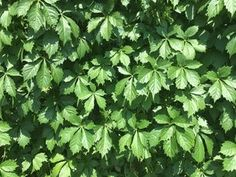 Plants for Dallas - Your Source for the Best Landscape Plant Information for the Dallas-Ft. Worth MetroplexBest Vines for Dallas, Texas — Climbing Plants Fast Growing, Wall Climbing Plants, Fast Growing Vines, Fast Growing Evergreens, Climbing Vines, Evergreen Climbing, Evergreen Vines, Lady Banks Rose, Vine Fence