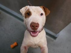 I AM SAFE THANK YOU.   SUPER  URGENT.     SMORES - A1064729 SMORES - A1064729      3/23 PLEASE  SAVE ME  THANK YOU  SMORES - A1064729 TO BE DESTROYED 03/15/16 ****A PRIVATE DONOR HAS GRACIOUSLY OFFERED TO PAY $200 TO THE NEW HOPE PARTNER THAT PULLS SMORES****A staff member writes: Just like his name, Smores is as sweet as they come! I can not emphasize enough how much this dog loves people! He has become our unoffical mascot, hanging out with everyone is our front offices and loving every…