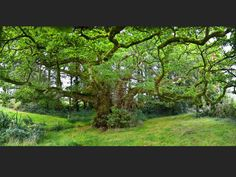 Ce chêne est vieux de plus d'un millénaire (Finistère, Bretagne).