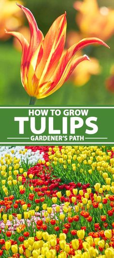 Tulips come in a diverse color palette for the spring garden. Learn how to grow and care for this iconic spring bulb flower, right here on Gardener's Path. Rare Flowers, Bulb Flowers, Planting Bulbs, Planting Flowers, Flower Gardening, Growing Tulips, How To Grow Tulips, Growing Tomatoes, Garden Plants