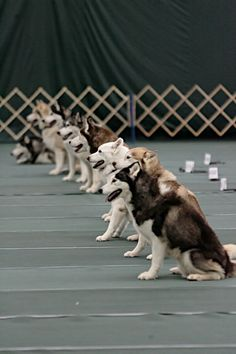 See?  Huskies CAN listen & obey... when they want to.  Apparently the husky on the far end isn't in that mood today.