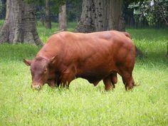 SCR7027 Hijo de RDHERCULES 6801J, tenemos semen congelado disponible, el toro esta en Costa Rica.