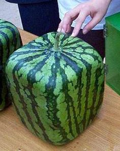 Growing Square Watermelons - Google Search