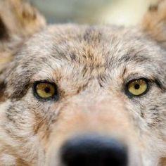 Flavio Tosi, sindaco di Verona, segretario veneto della Lega e presidente regionale di Federcaccia ha dichiarato in un consiglio comunale a Velo di voler emettere un'ordinanza rando un'ordinanza che autorizzi a sparare ai lupi che si avvicinano alle case.