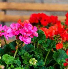 Így öntözd a muskátlid, és minden szomszéd a csodájára jár a virágodnak!