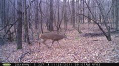 Post-Rut Whitetail Tactics for Bowhunters Whitetail Deer Pictures, Whitetail Deer Hunting, Deer Hunting Tips, Hunting Guns, Archery Hunting, Bow Hunting, Hunting Stuff, Red Deer, Turkey Hunting
