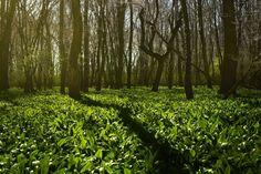 Wild garlic season: when wild garlic grows – tips for harvesting – Garlic Growing - Growing Plants at Home 11 Avril, Avril 2017, Harvesting Garlic, Berry Bros, Parks, Wild Garlic, Spring Nature, Nature Tree, Growing Plants
