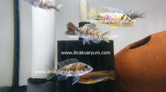 Calico Cichlid