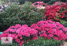 Rhododendron x hybrida - Różanecznik