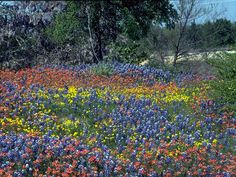 Texas bluebonnet, Texas lupine, Buffalo clover, Wolf-flower.  The wildflowers of Texas.