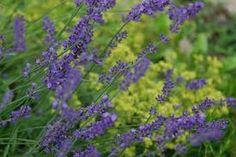 lavender and alchemilla - Google Search