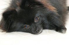 Pomeranian | Wanna-Be Photography