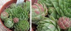 GLOBIFERUM ssp. HIRTUM  (L.) 't Hart & Bleij, 1999 | International Crassulaceae Network