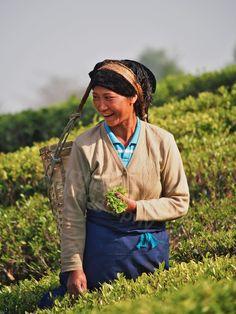 Darjeeling tea fields, harvest. www.teacampaign.ca  Source: see below.