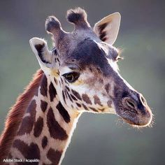 Save Giraffes From Extinction By Putting A Stop To Trophy Hunting!  After dropping close to 40% in population size, giraffes are now listed as a vulnerable species - due in part to trophy hunting.