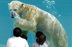 Polar bear at Lincoln Zoo in Chicago, Illinois. Admission to the zoo is free. (Photo: Lincoln Park Zoo)
