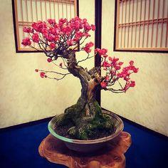 "1,183 lượt thích, 6 bình luận - Bonsai Addicted (@bonsaiaddicted) trên Instagram: ""Japanese Flowering Apricot (Prunus Mume / Ume) """
