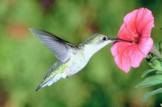 How 2 attract Hummingbirds