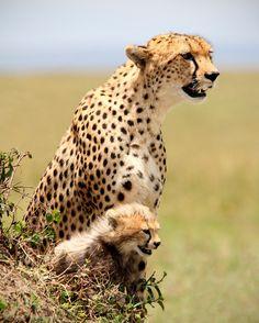 Cheetah and Baby