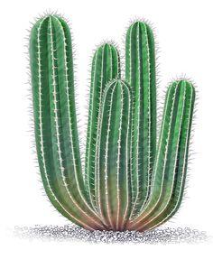 Illustration Cactus euphorbia