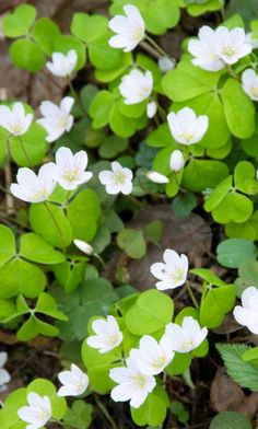 Wood Sorrel (Oxalis acetosella) Love Garden, Shade Garden, Garden Tips, Oxalis Acetosella, Clover Flower, Leaf Clover, Colorful Flowers, Beautiful Flowers, Shamrock Plant
