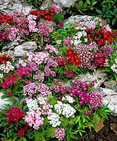 This mix of Sweet William (Dianthus barbatus Nanus) is low-growing and just as beautiful as the common variety. It produces a gorgeous colourful carpet of flowers in white, red and pink. Dianthus barbatus Nanus comes highly recommended as a border plant and for pots on the patio. Excellent as a cut flower in small (short stemmed) bunches.