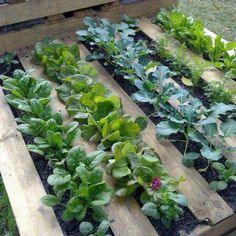 chic veggie patch made from a pallet. Simply line the inside with hession, heavy plastic or weed matting and fill with potting mix. Make holes where you will plant your seeedlings. These can also stand vertically on a balcony or in a small garden.