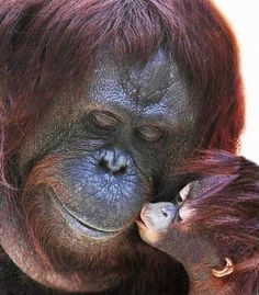 Ape n baby kissing.  Go to www.YourTravelVideos.com or just click on photo for home videos and much more on sites like this.