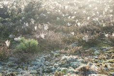 Cobwebs in the heather