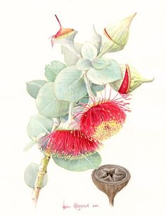 E macrocarpa F169 | Helen Fitzgerald - Botanical & Wildlife artist | Helen Fitzgerald