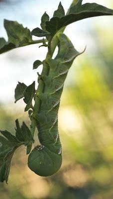 High Desert Gardener: The Dreaded Tomato Hornworms Have Arrived