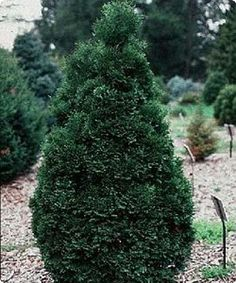 Thomsens Greenhouse & Garden Center: Holmstrup, Zone 3-8, great for close to house in foundation planting. Evergreen.
