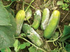 ¿Porque es importante entutorar tu cultivo con malla para hortalizas? Potassium Bicarbonate, Backyard Plants, Powdery Mildew, Parts Of A Plant, Neem Oil, Organic Oil, Pest Control, Permaculture, Fungi
