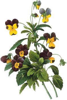 Pierre-Joseph Redouté, 1759-1840/ Viola bicolor