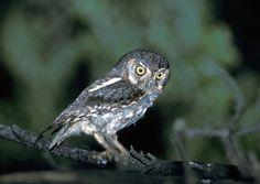 Elf Owl (Micrathene whitneyi). Photo by Greg Lasley.