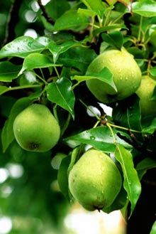 Bartlett Pear Tree                                      						  Grow A Lifetime of Maintenance-Free Fruit, From One Tree