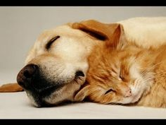 Musique Calmante Pour Chiens et Chats ♣ Sommeil Paisible, Soulage Le Str...