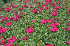 dianthus-hot pink. tall. $7.00/bunch