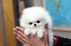 Teacup Pomeranian is a small, active and adorable dog breed. If you are looking for Teacup Pomeranian puppy, you should consider these Teacup Puppies For Sale, Tiny Puppies, Cute Puppies, Cute Dogs, Tiny Dogs For Sale, Teacup Dogs, Small Dogs, White Pomeranian Puppies, Spitz Pomeranian