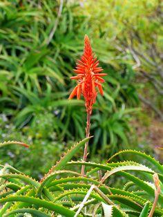 Aloe arborescens, Canical, Madeira , NGID940946457 Aloe Vera, Perennials, Succulents, Flowers, Plants, Wood, Succulent Plants, Plant, Royal Icing Flowers