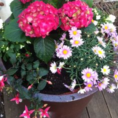just planted: pink hydrangea, light pink spanish marguerite and fuchsia. #container garden