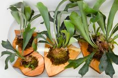 Vintage Revivals   How to Mount (and Care for) a Staghorn Fern